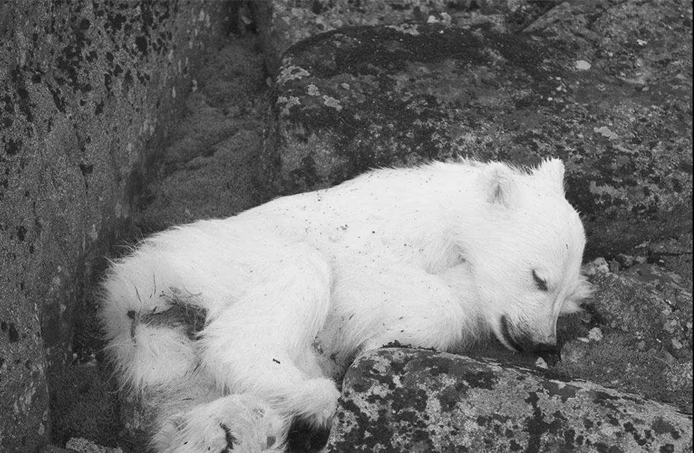 北极圈罕见32℃作家,北极熊或在40年内迎来灭绝甜高温老虎图片